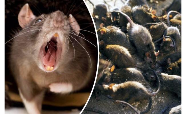 Evde yalnız bırakılan bebeği fareler yedi!