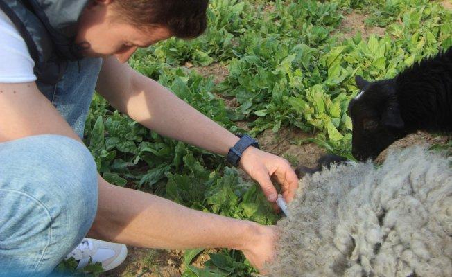 Bursalı çobandan kuzu ölümlerini azaltan yöntem