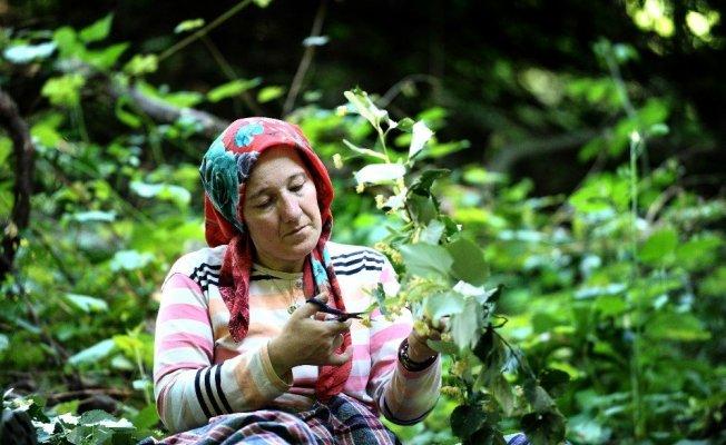 Bursa'daki dünyanın en büyük ıhlamur ormanında hasat başladı