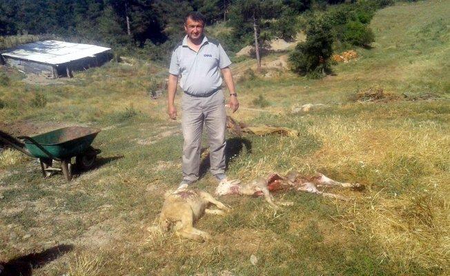 Bursa'da köye inen kurtlar, 80 koyunu telef etti