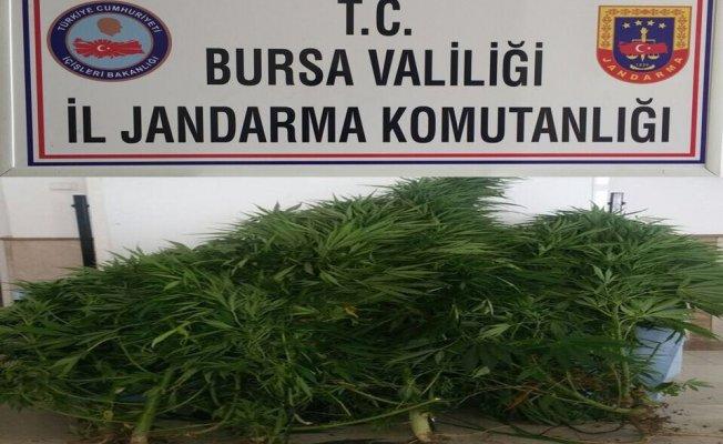 Bursa'da kenevir operasyonu