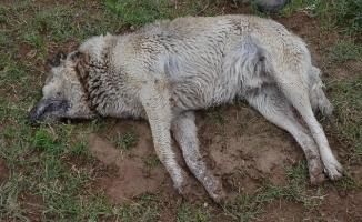 Aç kalan kurtlar köpekler yedi