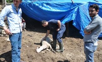 Bursa'da merada otlayan koyunlar telef oldu
