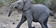 Fil yaşlı kadını ezerek öldürdü