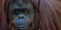 Mahkeme orangutanı insan yerine koydu