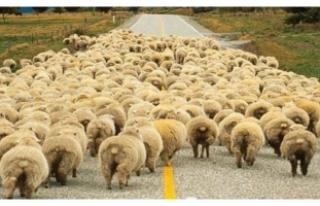 """""""300 koyun + maaş"""" projesi ile ilgili Bakan'dan..."""