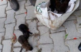 Balıkesir'de bulunan kurt yavruları Bursa'da...