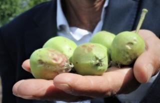 Bursa'da meyve bahçelerinde büyük zarar!