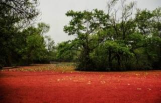 Karacabey longozu kızıla boyandı! İşte sebebi...