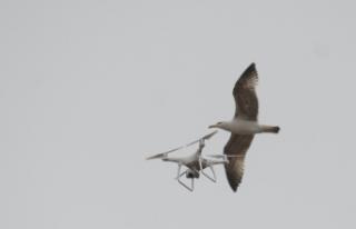 Martıların drone ile imtihanı