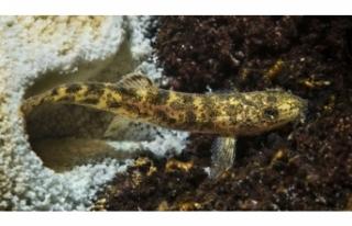 Van Gölü'nde yaşayan ikinci balık türünü...