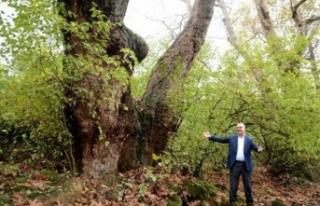 Bursa'da tarihi İnkaya Çınarı'na 'abi'...