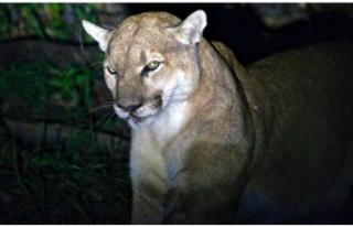 Kendisine saldıran dağ aslanını boğdu