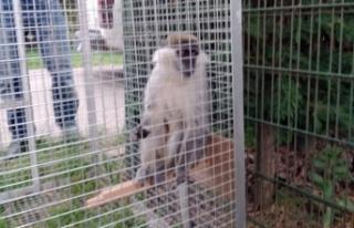 Bursa'da paniğe sebep olan maymun yakalandı