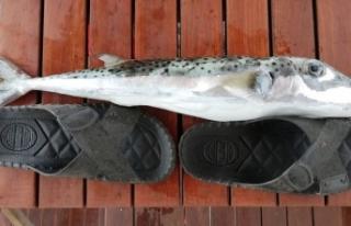 Balon balıklarının artışı balıkçıları tedirgin...