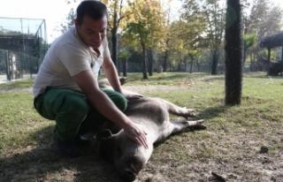 Bursa'da tapirlerin masaj tutkusu