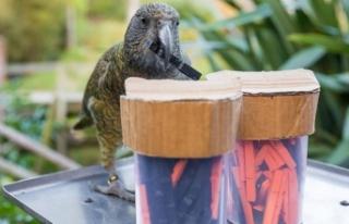 Papağanlar zekalarıyla hayrete düşürüyor