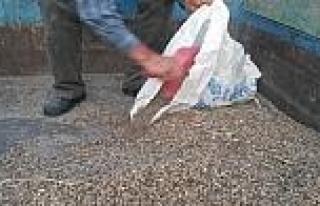 Buğday Tarlalarına Domuzlar Dadandı