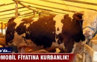 Bursa'da bu kurbanlıklar otomobil fiyatlarıyla...
