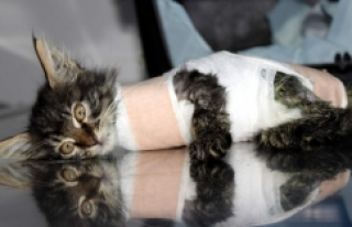 Bursa'da otomobilin ezdiği yavru kedi protez...