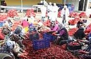 Kulaca'dan Hollanda'ya 450 Ton Biber Salçası