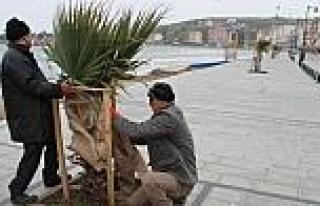 Marmaraereğlisi Belediyesi Palmiyeleri Soğuktan...