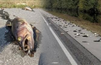 Otoyolda binlerce ölü balık bulundu!