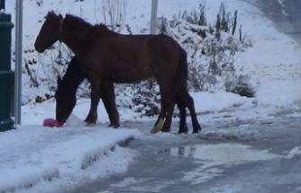 Bursa'da yürek burkan görüntü! Başı boş atlar...