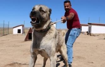 Kangal köpeklerinin yavrularını yemesinin sırrı çözüldü