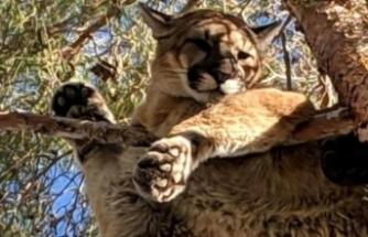 Dağ aslanı ağaçta mahsur kaldı