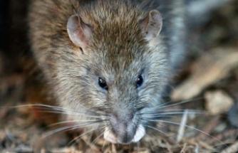 Hapishaneye ölü sıçanlarla uyuşturucu sokuldu