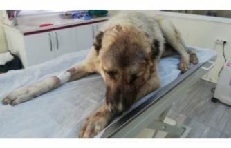 Vahşet! Vücuduna 150 saçma isabet eden köpek...