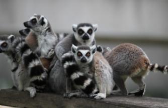 Bursa Hayvanat Bahçesi'nde 8 lemur dünyaya geldi