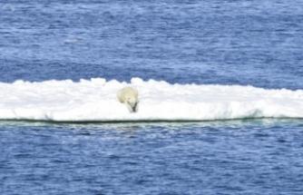 Kutup ayısı buz parçası üzerinde 700 kilometre uzağa gitti