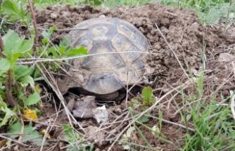 Toprağı kazarak ısınmaya çalışan kaplumbağa görenleri şaşırttı
