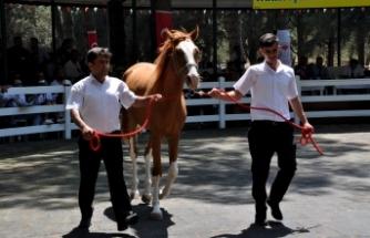 Bursa'da yarış tayları lüks otomobil fiyatına alıcı buldu