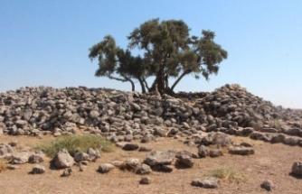 2 bin yıllık zeytin ağacı her yıl ürün vermeye devam ediyor