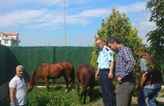 Bursa'da sahipsiz atlar belediye korumasında
