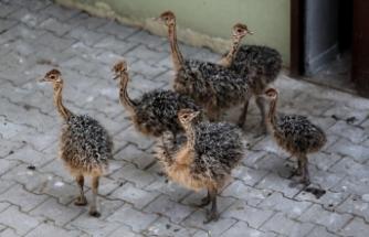 Bursa Hayvanat Bahçesinde devekuşu heyecanı