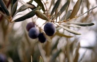 Hatay'da, zeytin hasadı yüksek rekolte umuduyla başladı