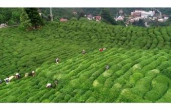 Çay ihracatından 13,2 milyon dolar gelir