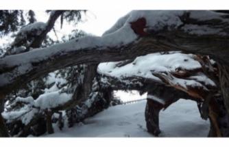 2 bin yıllık anıt ağaç kara dayanamadı