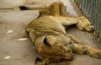Sudan'daki hayvanat bahçesinde aslanlar açlıktan ölüyor