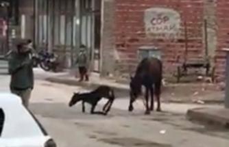 Bursa'da at, sokak ortasında doğum yaptı
