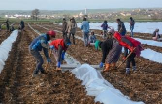 Bursa'da erkenci karpuz ekimi yapıldı