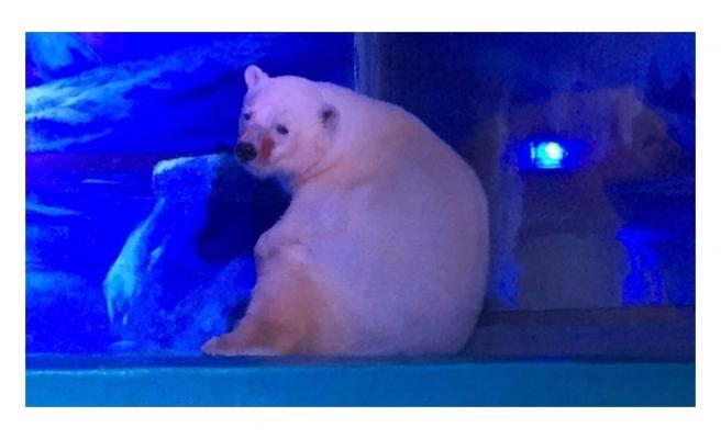 Dünyanın en üzgün kutup ayısı özgür