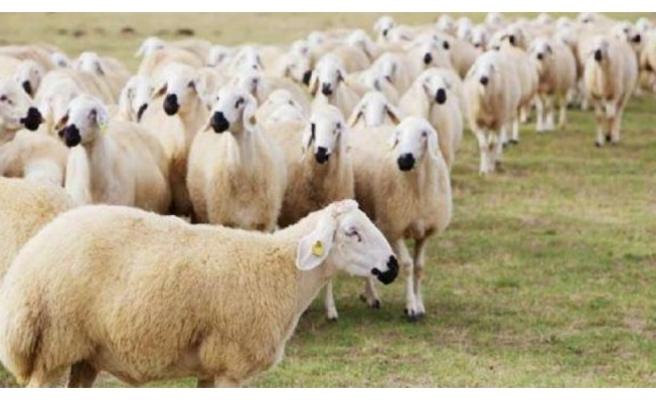Türkiye'nin konuştuğu 300 koyun projesi başlıyor