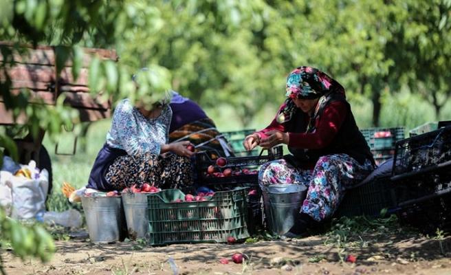 Bursa'da hasat zamanı!