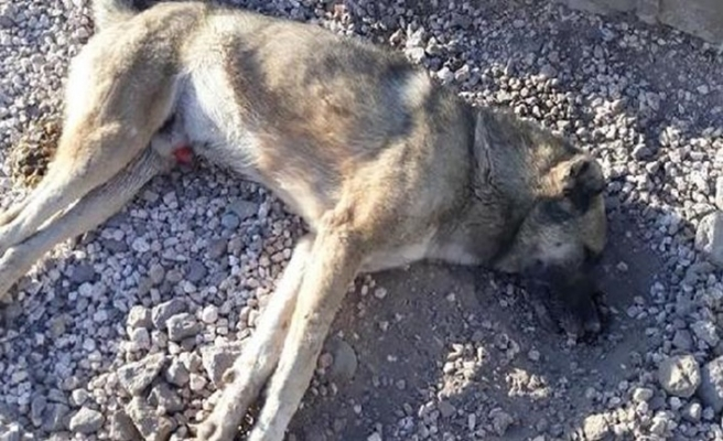 Vahşet! 10 sokak köpeği bu halde bulundu