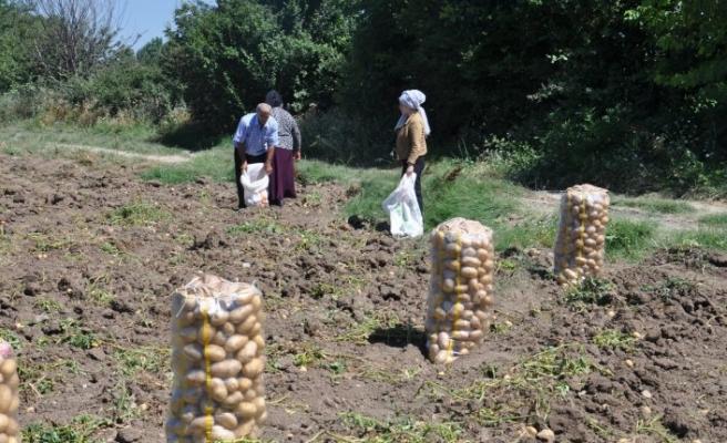 İnegöl'de patates hasadı başladı